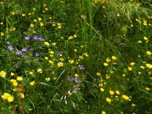 I fiori sulla alpe in juglio